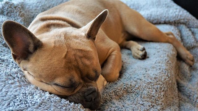 Hnedý pes spí na sivej deke na posteli.jpg